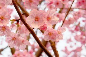 X70 で撮った桜