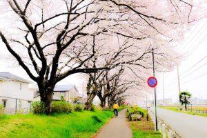 桜並木を走る自転車