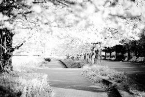 桜並木(モノクロ)