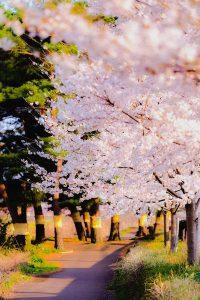 桜並木と松