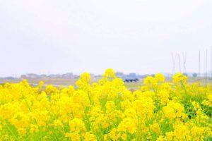 菜の花とトラック