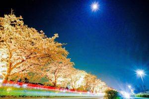 水無川の桜並木のライトアップ