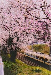 小田急線と桜の木
