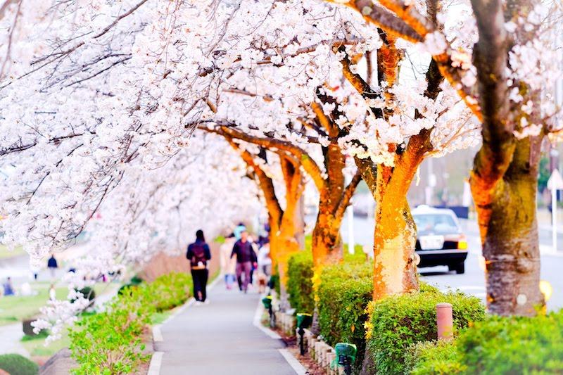 桜並木を歩く人達