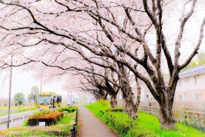 桜並木とバス