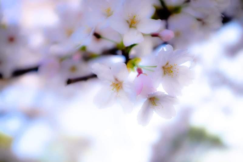 [写真日記]桜シリーズと南京錠とアーティストさん紹介