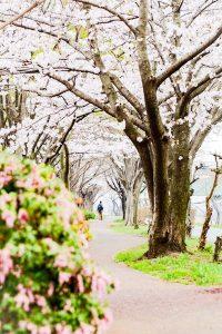 桜並木のトンネルを歩く男性