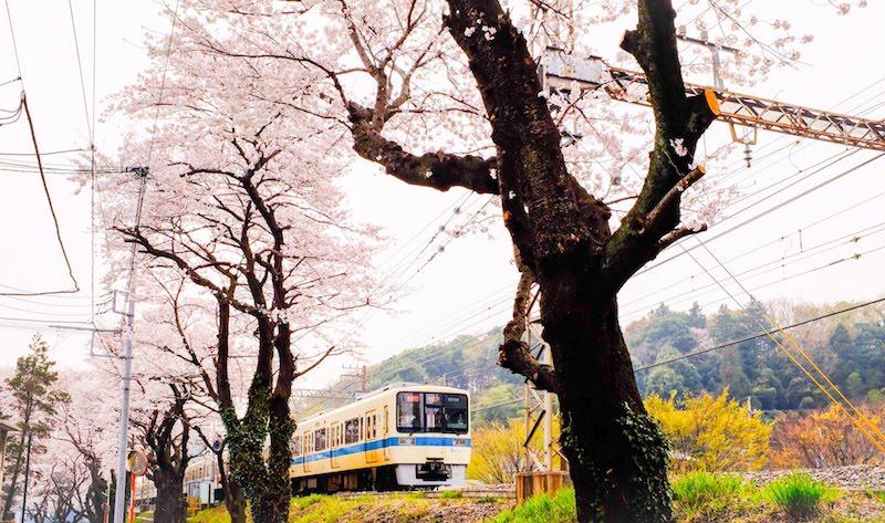 小田急線と桜並木