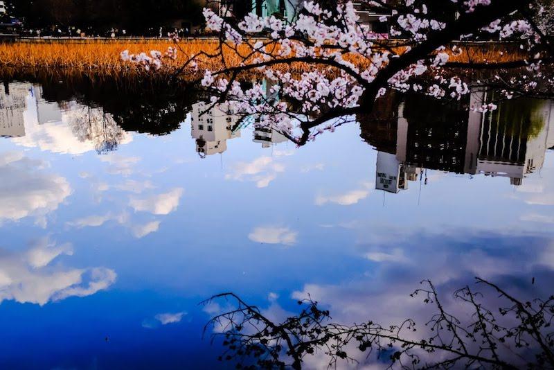 [写真日記]上野の桜とそらとNURO
