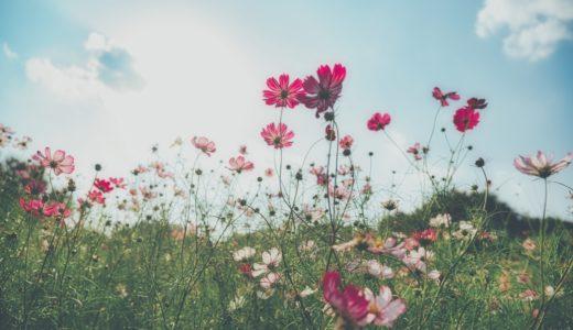 [写真]彼岸花とコスモス再レタッチ