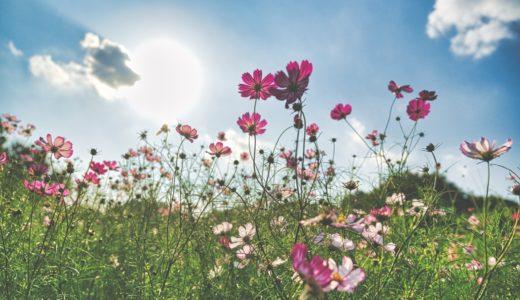 [写真]彼岸花とコスモス